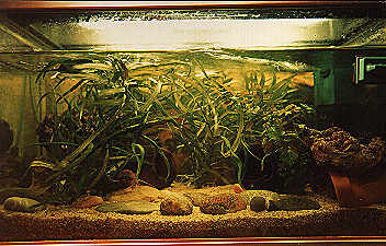 Viele Verstecke, zum Beispiel aus gut gesäuberten Kokosnußschalen, sollten das Aquarium ausstatten