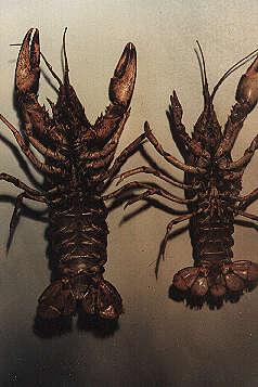 Die Geschlechtsdiagnose ist relativ einfach: Das Männchen rechts, besitzt zwei paar umgebildete Schwimmfüßchen als Begattungsorgan