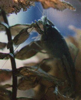Louisiana-Jungkrebs im Schutze von Wasserpflanzen